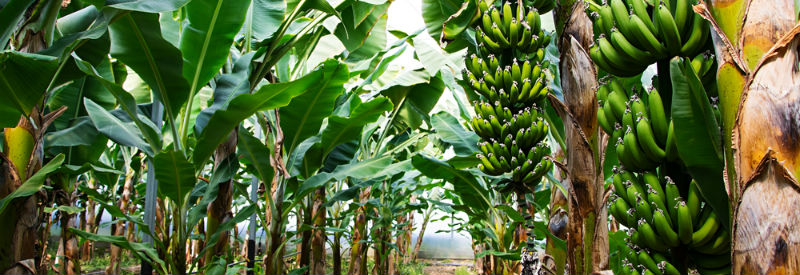how long does it take for bananas to grow?